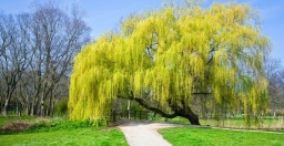 Weeping-Willow-2-973x500.jpg