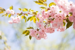 70730-cherry-blossom-trees-nature-and-spring-time-background-pink-sa.jpg