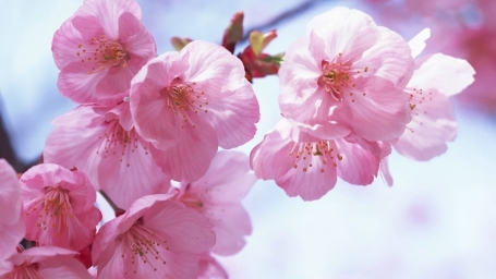 Pink_Spring_Flowers_Wallpaper.jpg